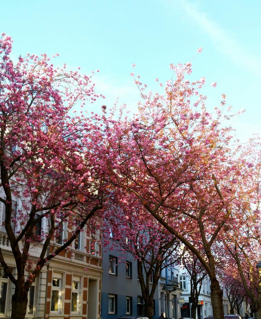 Die Kirschblütenallee
